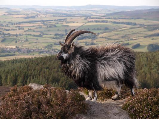 Feral-Goat-by-John-Dalrymple.jpg